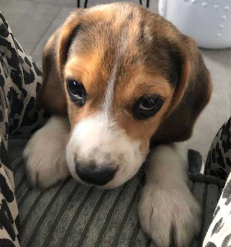 Beagle pup showing her puppy eyes