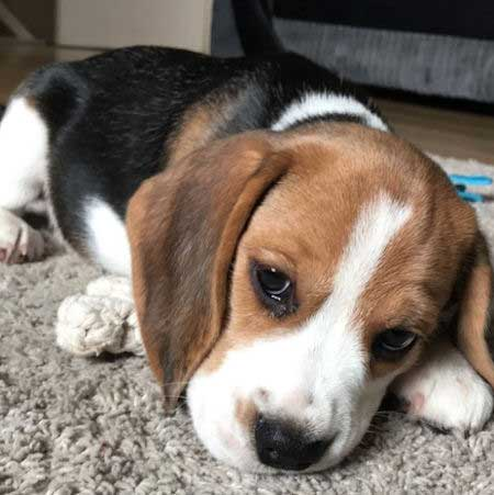 Copper the Beagle Puppy