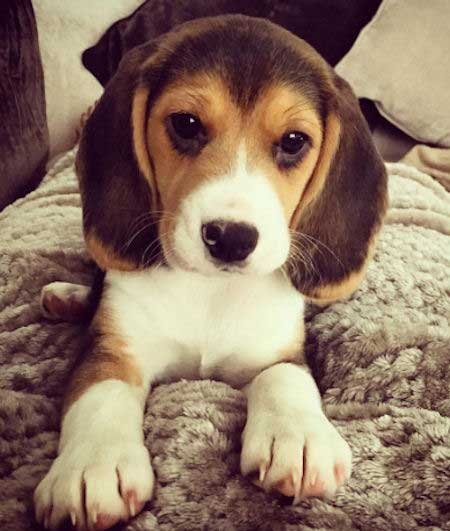Jessie the Beagle Puppy