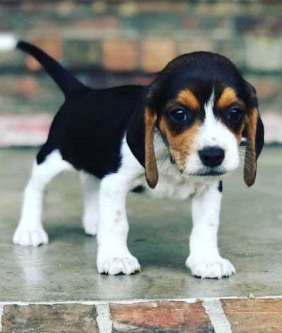 Small Beagle Puppy
