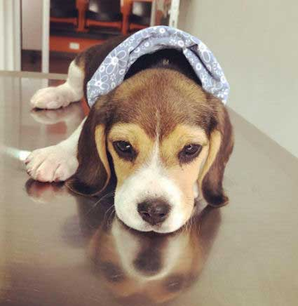 Beagle Pup laying on a table
