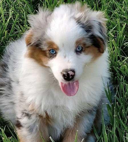 Mini Aussie Puppy with blue eyes