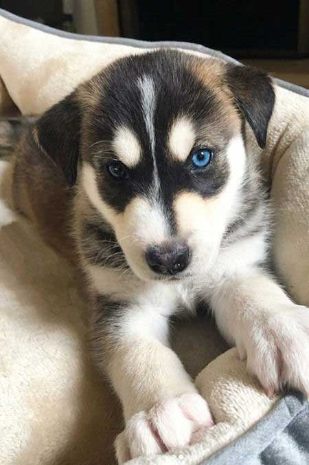 Labsky Puppy with blue eyes