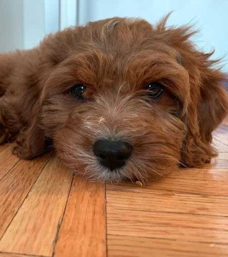 A cute Cavapoo puppy laying on the floor