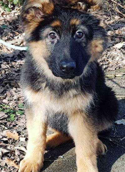 Cute GSD Pupper