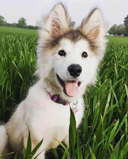 Cute Little Malamute Puppy