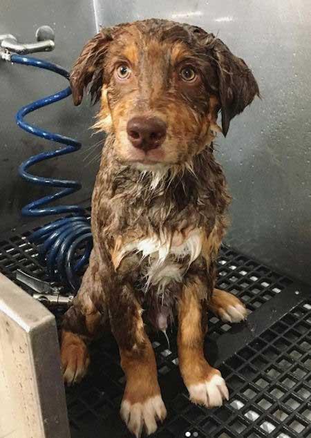 red tri aussie puppy that's wet