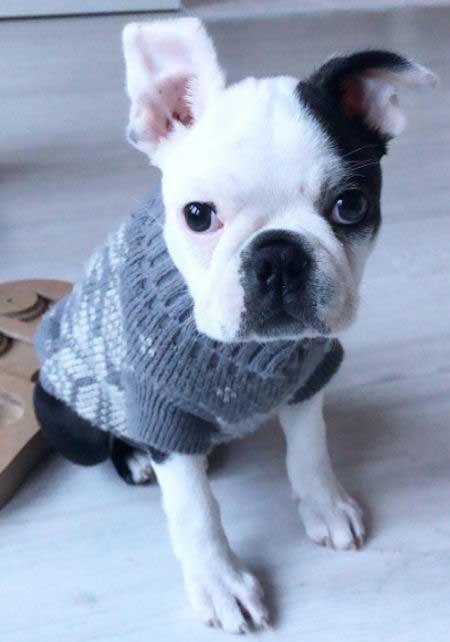 Boston Terrier puppy in a sweater