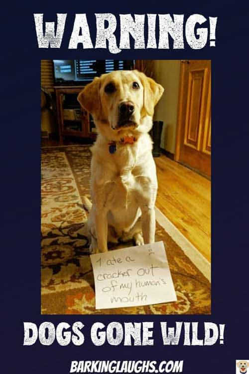 It takes a Bad dog to make a great picture! Yellow Labrador ate a cracker from their human's mouth, in this funny dog shaming picture.