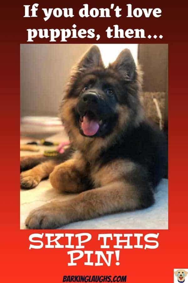 These 24 puppies are awesome. A puppy picture can create a smile. This GSD is one of the puppers
