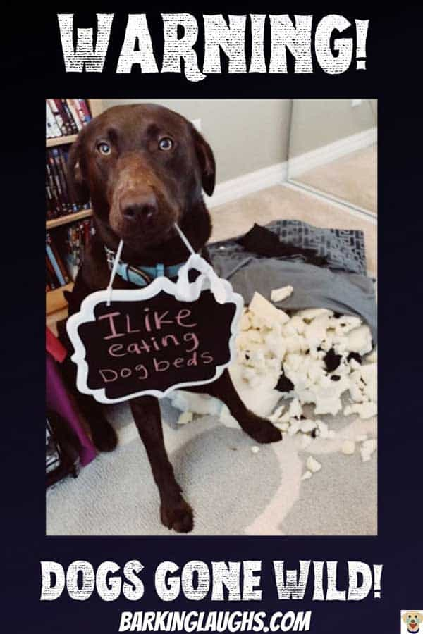 Lab ate dog bed in the funny dog shaming picture