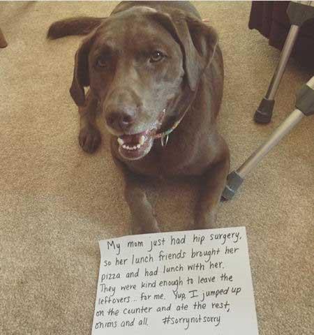 Dog shaming a therapy dog