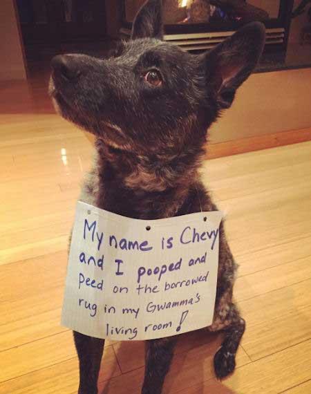 Dog shaming a pooper