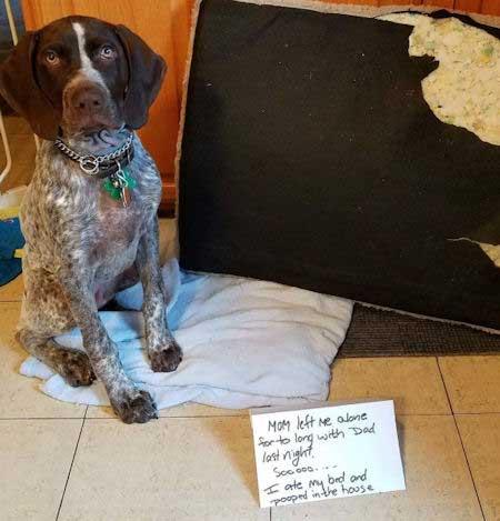Dog shaming sofa eater