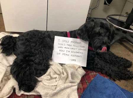 Pain Pill doggie thief
