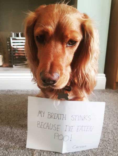 Bad breath golden funny dog shaming picture