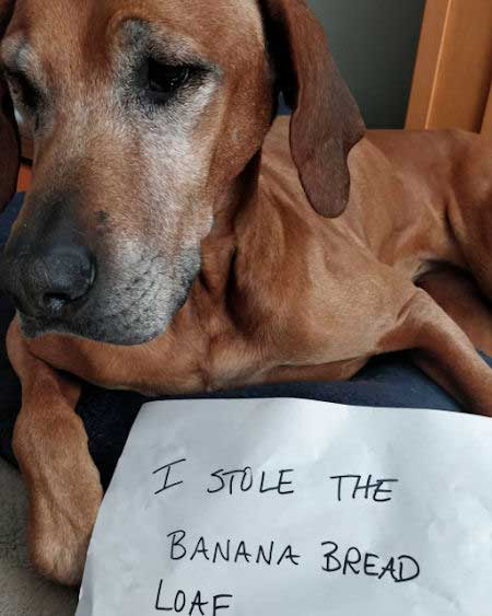 Dog stole banana bread