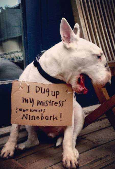 Bull Terrier gets shamed for digging up a ninebark shrub