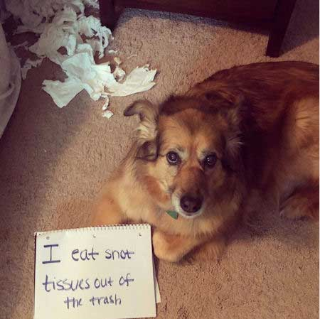 Funny dog shaming of a pooch that eats tissues
