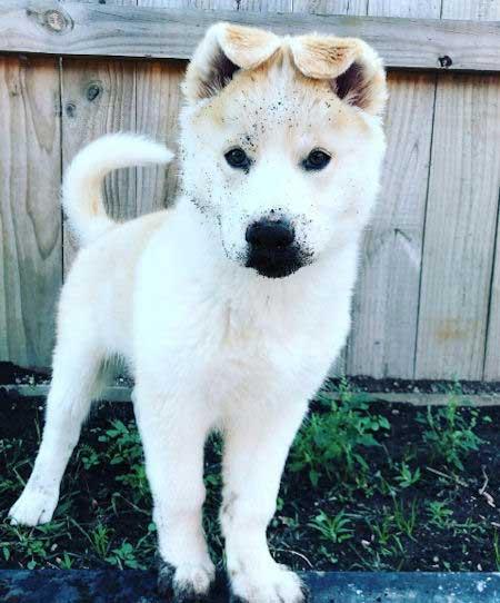 White x-breed puppy Gerberian SHepsky