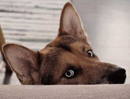 Funny Picture of a Gerberian Shepsky looking over sholder