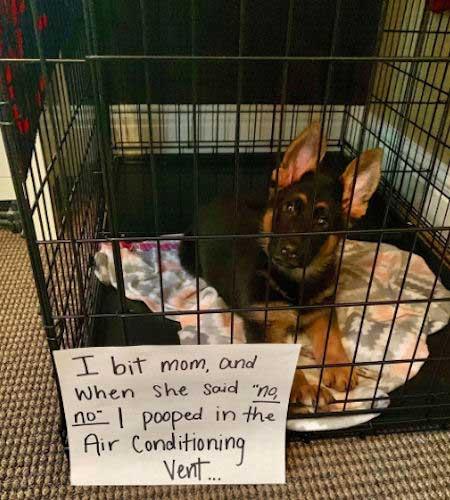 Funny German SHepherd puppy getting dog shamed