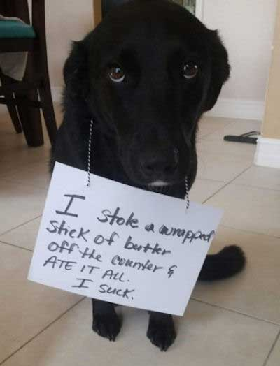 Funny dog shaming of a lab that ate butter