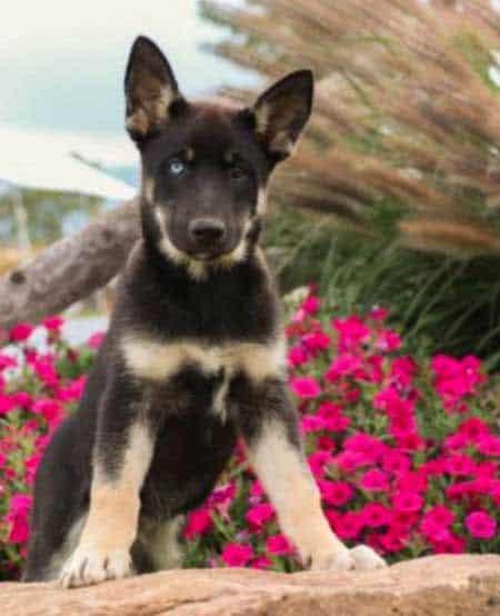 Gerberian Shepsky puppy near some flowers