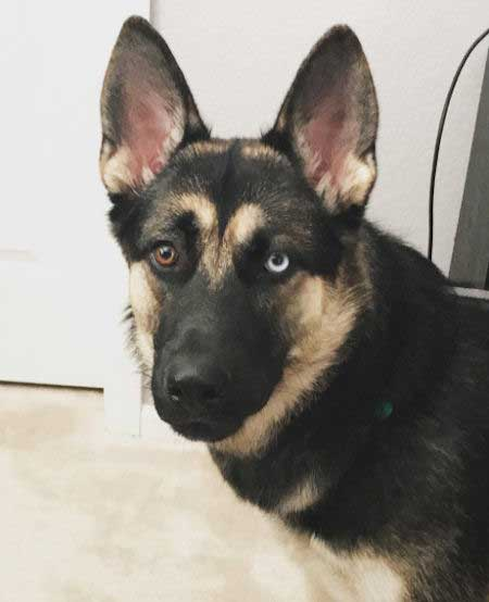 Gerberian Shepsky with two different eye colors