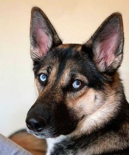Awesome Looking Gerberian Shepsky staring at the camera