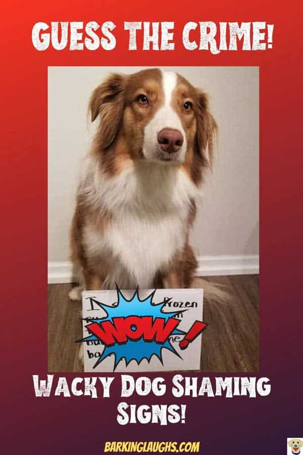 What did this awesome looking dog do to get the dog shaming treatment?
