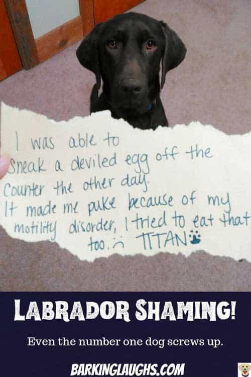 Labrador dog shaming deviled egg eater