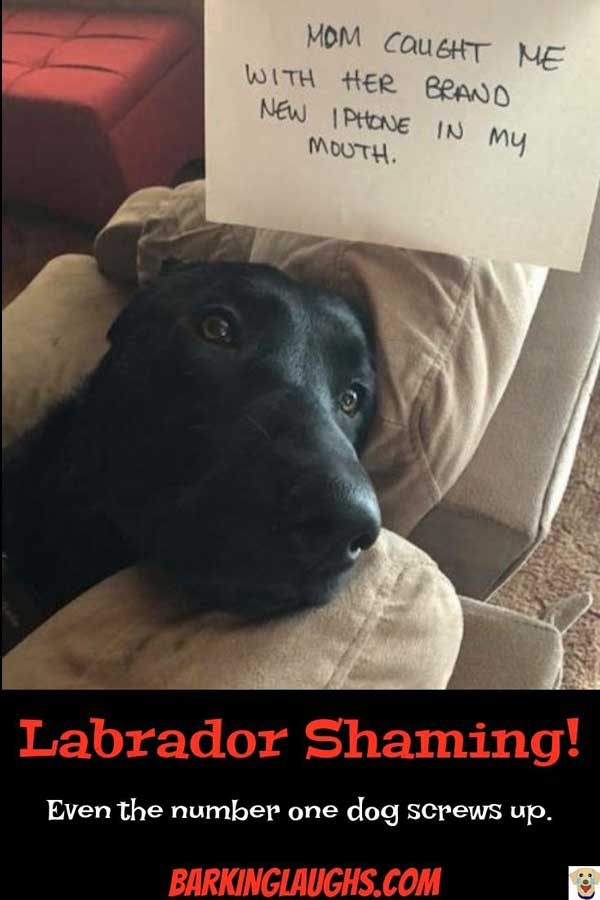 Labrador Dog Shaming with a Lab that ate an Apple.