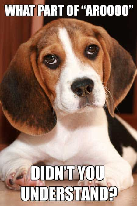 Funny Beagle Dog meme. Cute Beagle dog asking if you know what arooo means.