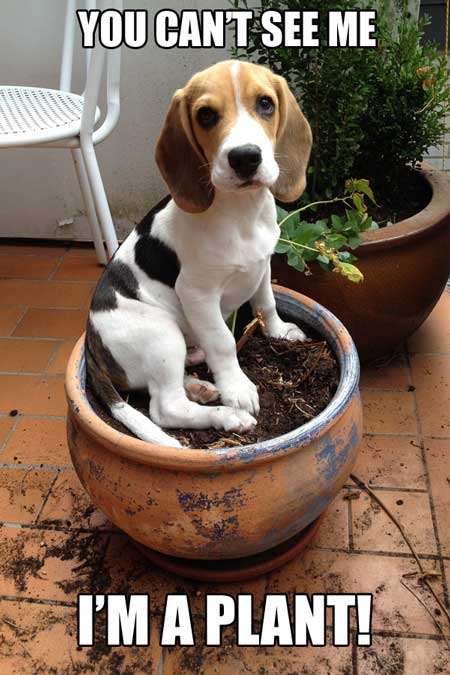 Funny Beagle Dog meme. Cute Beagle puppy pretending to be a plant.