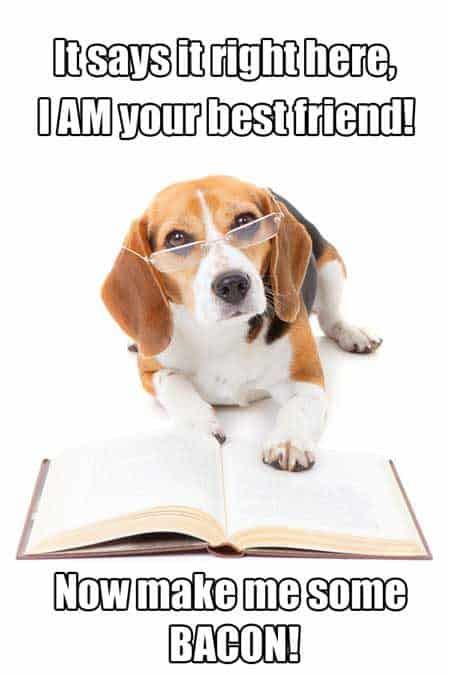 Dog memes hilarious beagle humor. Cute Beagle dog in glasses reading a book.