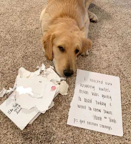 Hank the Tank Golden retriever give a funny dog confession