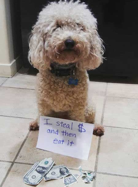 Funny dog confession picture of a dog ate money