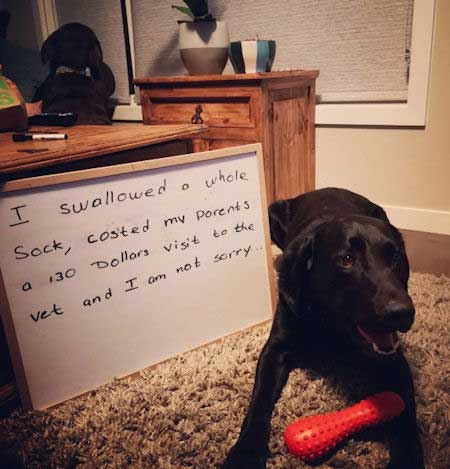 Dog Funny Shaming picture of a Funny Labrador