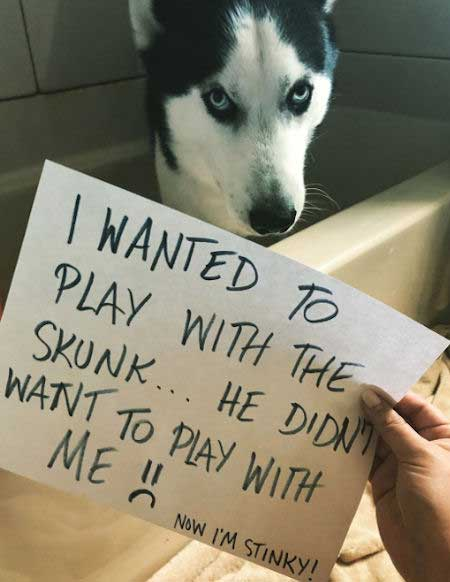 Funny Dog Confession with a Husky getting shamed