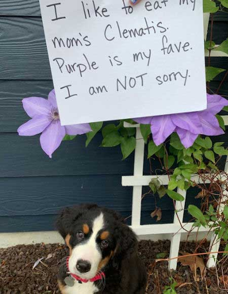 Dog Shaming new puppy . Funny Puppy ate some flowers
