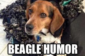 little beagle that ate a dog bed
