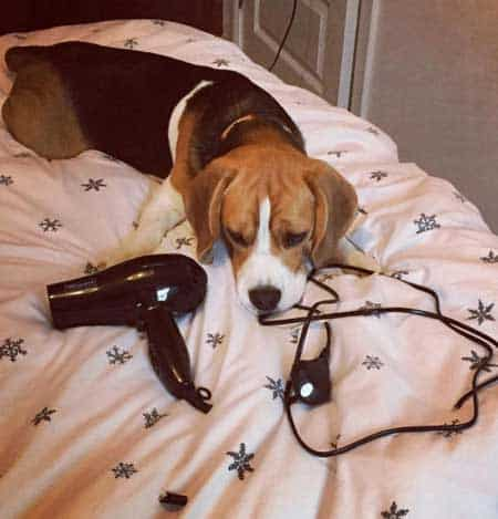 a beagle that ate the cord of a hair dryer
