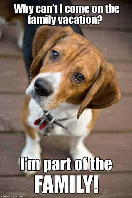 Dog memes of hilarious Cute Beagle dog wondering why they can't come on the family vacation.