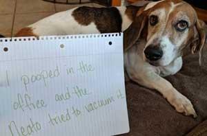 Funny dog shaming beagle