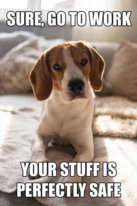 Dog memes hilarious, Cute Beagle saying it's OK to go to work.
