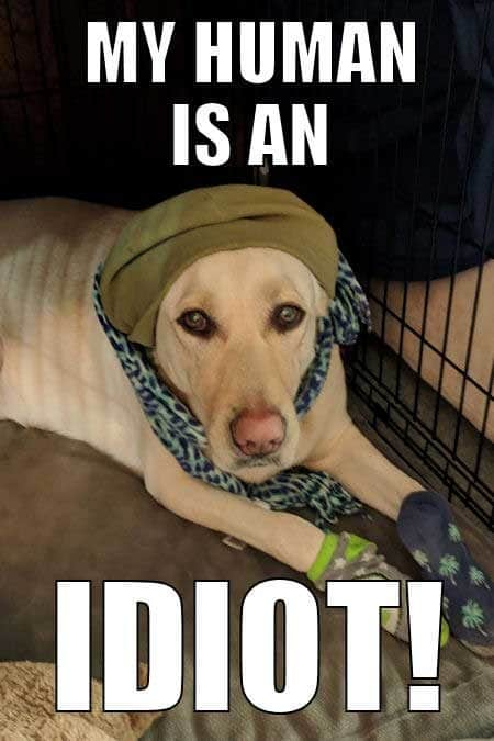 Dog Memes Hilarious situations. My Human is an idiot.