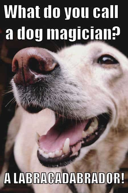 Joking Labrador Meme. Dog humor hilarious joke.