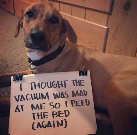 canine scared of vacuum and peed on the bed
