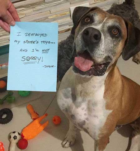 funny canine destroys toys